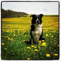 Happy border collie, happy spring day.