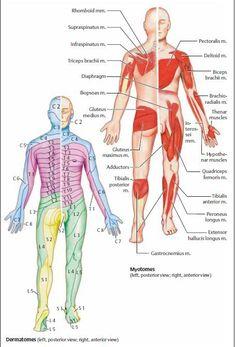 Myotomes and Dermatomes