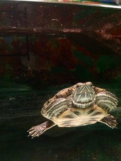 This is Zuriel, a beautiful and peaceful red ear slider Red Eared Slider, Adorable Animals, Turtles, Sliders, Tortoise, Amazing, Kids, Beautiful, Sketches