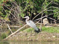 "I love listening to the ""heron"" family that lives in our pasture!  They are so pretty!"
