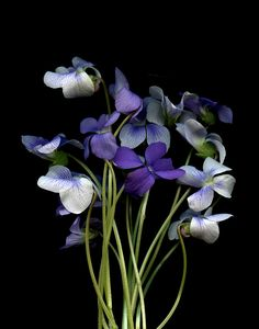 ♥violetas as tiny as it is . it have a distinctive smell . is individual . no other flower claims to be a violeta .♡♥you are Spy . Purple Flowers, Red Roses, Wild Flowers, Beautiful Flowers, Sweet Violets, Violets Flower, Birth Flowers, Pansies, Black Backgrounds