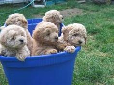 golden doodle puppies. my aunt raises these and they are sooo adorable and super fluffy. love them.