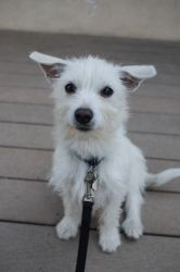 Mini is an adoptable West Highland White Terrier Westie Dog in Pasadena, CA. Maxi and Mini were given their names for obvious reasons. They are sisters and clearly one has a bigger appetite. They were...