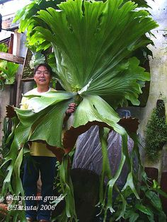 Giant staghorn fern-Giant staghorn fern for sale rare ferns for sale