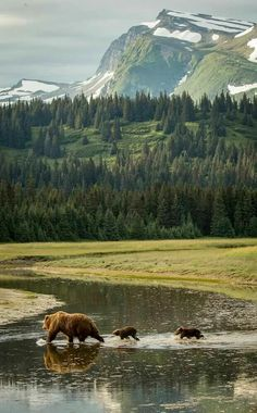 animals, bears, scenery, nature, wilderness, forests, trees