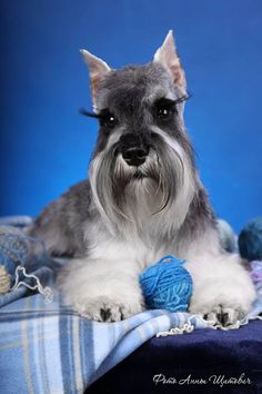 Schnauzer--look at those eye lashes!!