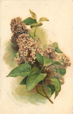 purplish white lilac