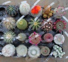 "2.5"" Assorted Cactus (w/ Names) bulk wholesale succulent prices at the succulent source - 5"