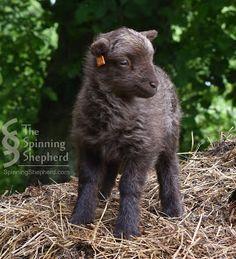 Ouessant lamb