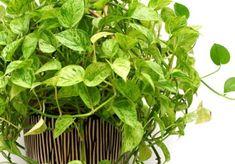 """Zovu je još """"djavolji bršljan"""" ili """"biljka novca"""" jer se smatra da donosi sreću, ali Epipremnum aureum je danas najpoznatiji po svojoj sposobnosti da prečišćava vazduh. Ova jednostavna puzavica upija čak i formaldehid."""