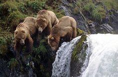 Kodiac Bears, Kodiak Island, Alaska, USA - Pixdaus