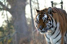 Kismet the tiger from Carolina Tiger Rescue. Tiger Tiger, Tigers, Bright, Cats, Animals, Gatos, Animales, Animaux, Animal