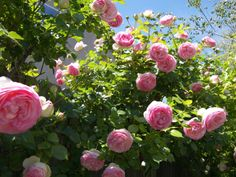 Most Beautiful Flowers, Beautiful Gardens, Cottage Garden Plants, Cottage Gardens, Eden Rose, Garden Landscaping, Landscaping Ideas, Garden On A Hill, Climbing Roses