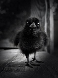 Baby raven I want him and I want to name him Edgar