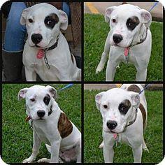 Beaumont, TX - American Bulldog/Pit Bull Terrier Mix. Meet Tyson, a dog for adoption. http://www.adoptapet.com/pet/14717362-beaumont-texas-american-bulldog-mix