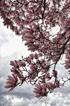 ✯ Magnolia Blossoms