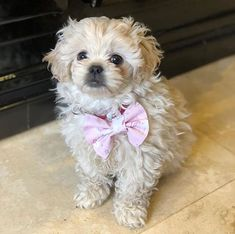 Small Dog Breeds, Small Dogs, Miniature Schnoodle, Super Cute Animals, Adorable Animals, Dog Crossbreeds, Cute Dogs And Puppies, Doggies, Pug Pictures
