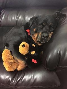 Everything About The Loyal Rottweiler Puppies Big Dogs, I Love Dogs, Cute Puppies, Cute Dogs, Canis Lupus, German Dog Breeds, Rottweiler Puppies, Beagle, Tier Fotos