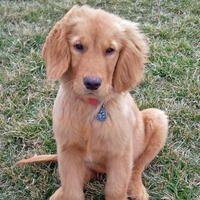 Hurley the Golden Retriever