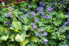 rozanne geranium and hosta - with cimicifuga leaves in the back, a nice color echo to the flowers