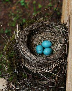 nest w/ eggs