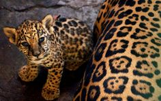 Ramses, a three-month-old JAGUAR cub, is seen in the National Zoo in Managua, Nicaragua, Wednesday, Feb. 16 2005. (photo: AP Photo/Esteban Felix)