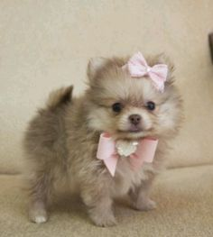 Pomeranian, for sale at gotoetsonline.com