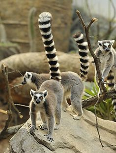 Ring-tailed Lemurs at Bronx Zoo