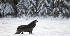 Due to technical difficulties with the government website, B.C.'s provincial government has extended the deadline for public feedback and comments on proposed changes to the 2016-2018 Hunting and Trapping Regulations to .  The proposed changes would remove any closed season for wolf hunting and remove the former bag limit of three per year, and triple the number of grizzlies that can be killed in the Peace Region from 50 to 150. Click to help and learn more.