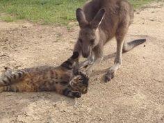 """""""O Grito do Bicho"""": Vídeo fofo de canguru fazendo carícias em gato faz..."""