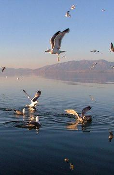 Utah's state bird, the California Gull is quite a common sight on the island. #seagull #utah #antelopeisland