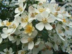 Klasické růže - Pnoucí - ramblery - Rosa filipes Kiftsgate