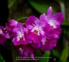 Capria – a cross between Ctna. Jamaica Red and C. Intermedia var aquinii  - Cattleytonia orchid  © 2010 Patty Hankins