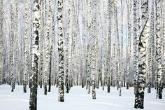 Konfigurierbares Motiv; Livingwalls Fototapete «Birkenwald im Winter» 470652