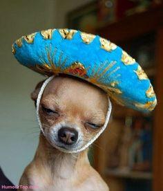 chihuahua avec un chapeau ridicule