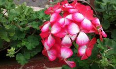 Flores geranium
