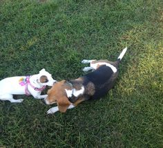 CHLOE FINALLY PLAYING WITH OTHER DOGS.