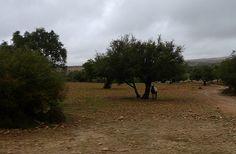 Between Marrakech and Essaouira -    Argan trees....