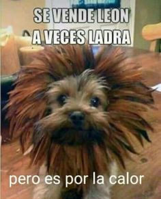 A small dog with the heart of a lion - 15 Unique and Creative Dog Costumes You Gonna Laugh Out! Animals And Pets, Funny Animals, Cute Animals, Baby Animals, Dog Memes, Funny Memes, 9gag Funny, Memes Humor, Funny Dogs
