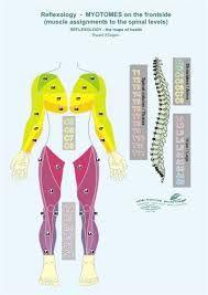 Résultats de recherche d'images pour «myotomes»