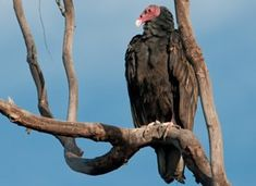 The North American Turkey Vulture may not be the prettiest of birds, but it does have an amazing impact on the world! Turkey vultures are definitely worth learning more about because without them to clean up road kill and other rotting animals human are left to deal with it themselves and that can get quite stinky. Lucky for us the Turkey Vultures have an incredible sense of smell and often pick up on the scent of rotting flesh long before we do and they are able to take care of it.