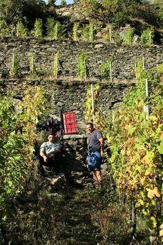 Vendemmia della casa vitivinicola Balgera Vini di Valtellina - Valtellina Wines