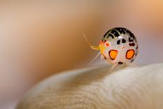 Ladybug amphipod from Cannibal rock - by Bent Christensen. Animals And Pets, Baby Animals, Funny Animals, Cute Animals, Strange Animals, Cool Insects, Bugs And Insects, Beautiful Bugs, Amazing Nature