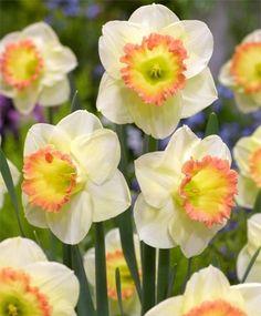 Narcissus Martha Stewart - Large Cupped Narcissi - Narcissi - Flower Bulb Index