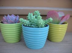 Succulent In 4 Inch Pastel Ceramic Pot Large 4 by SucculentsGalore, $27.95