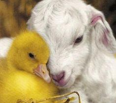 Duckling and lamb