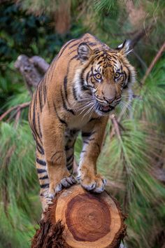 Suka enjoying his new fallen tree addition | Photo by Todd Lahman