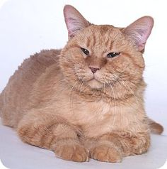 Chicago, IL - Domestic Mediumhair. Meet Tiger Lily, a cat for adoption. http://www.adoptapet.com/pet/15484981-chicago-illinois-cat