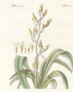 The New Zealand Flax Drawing by Splendid Art Prints Botanical Drawings, Botanical Prints, Welsh Tattoo, Native Drawings, New Zealand Flax, Plant Sketches, Flower Tattoo Foot, Flower Tattoos, Flax Flowers