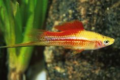 Pineapple Swordtail ~ I love sword tails. Quite active though. May be too much with my discus, angels & parrot fish. Tropical Freshwater Fish, Tropical Fish Aquarium, Tropical Fish Tanks, Freshwater Aquarium Fish, Planted Aquarium, Tetra Fish, Parrot Fish, Beautiful Fish, Animals Beautiful